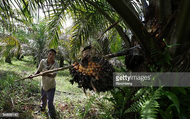 A worker harvests oil palm fruit on a plantation in Ngabang West Kalimantan Indonesia on Monday Dec 1 2008 Indonesia the world's largest palm oil...