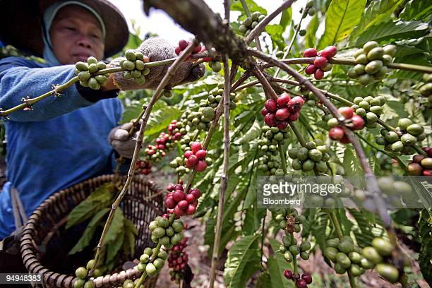 A worker harvests ripe robusta coffee cherries on a plantation in Talang Padang Lampung province Indonesia on Monday May 18 2009 Robusta coffee...