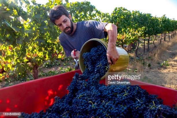 Worker harvests Shiraz red wine grapes in Assaf Winery's Caesarea vineyard on August 14, 2021 in Kidmat Zvi in Israel's Golan Heights. Israeli...