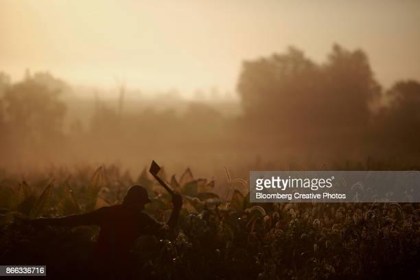 a worker harvests tabacco - tabakwaren stock-fotos und bilder