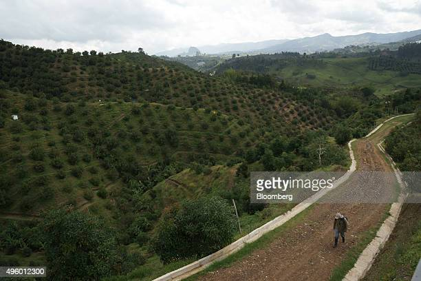 A worker heads to harvest avocados at the Finca Los Abuelos plantation in El Penol Colombia on Thursday Oct 22 2015 Colombian Hass avocado exports to...