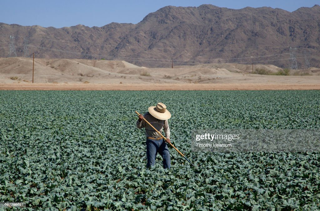 Worker hoeing between rows of broccoli plants : Stock Photo