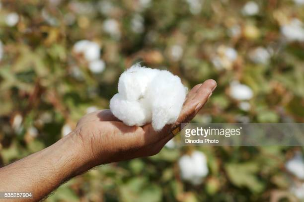 Worker holding cotton in a cotton field in Gujarat, India.