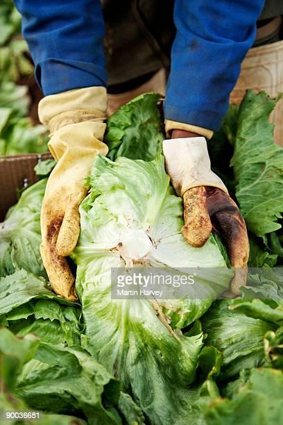 Worker holding iceberg lettuce (lactuca sativa).