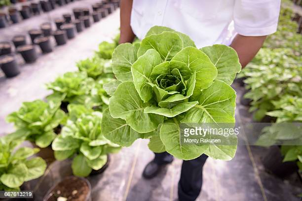 Worker holding romaine lettuce in Hydroponic farm in Nevis, West Indies