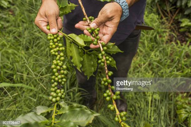 A worker holds a branch with arabica coffee cherries at a plantation in Alfenas Minas Gerais state Brazil on Tuesday Feb 27 2018 Brazil is the...