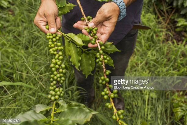A worker holds a branch with arabica coffee cherries