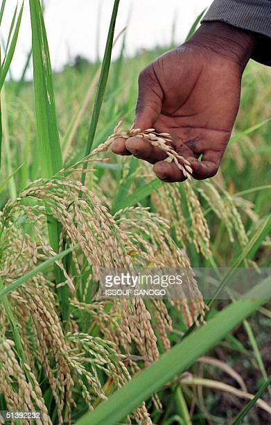 Worker holds a sample of NERICA, an acronym for New Rice for Africa, 13 June 2001 at the rice research center in Bouake, center of Ivory Coast. A...