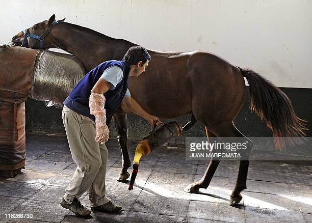 A worker holds an artificial vagina used to extract semen from a Polo Argentino stud horse at Dona Pilar farm in Lincoln some 310 Km West of Buenos...