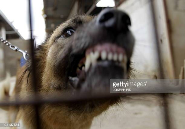 A worker holds back a raging dog in his cage at Beirut for the Ethical Treatment of Animals 'BETA' charitable organisation K9 shelter in the village...