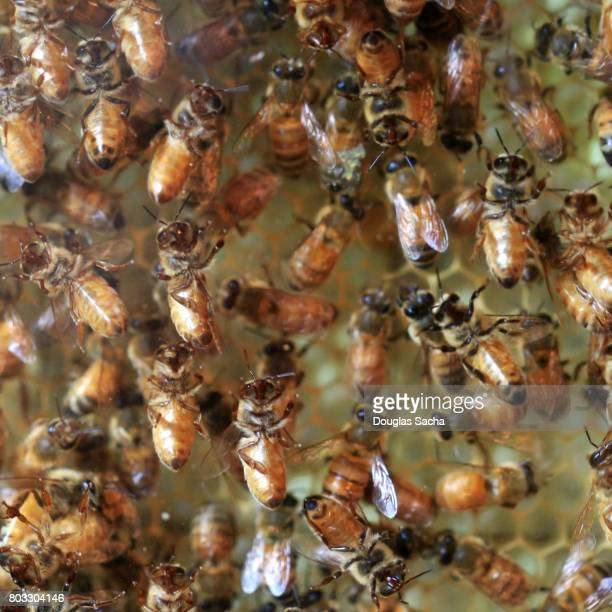 worker honey bees in a honeycomb hive (apis) - queen bee stock pictures, royalty-free photos & images