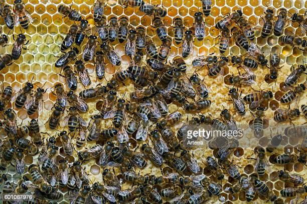Worker honey bees on honeycomb