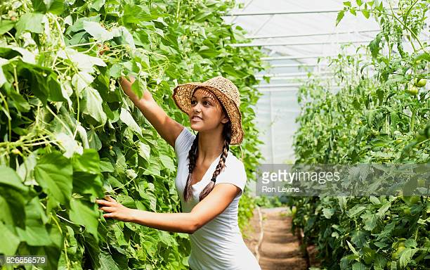 Worker in a greenhouse inspecting bean plants