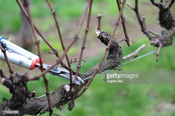 A worker in a vineyard cuts back vines in winter