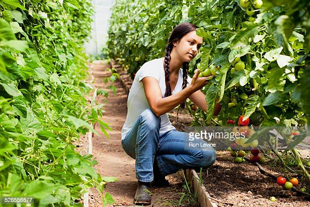Worker inspecting tomatoes on an organic farm