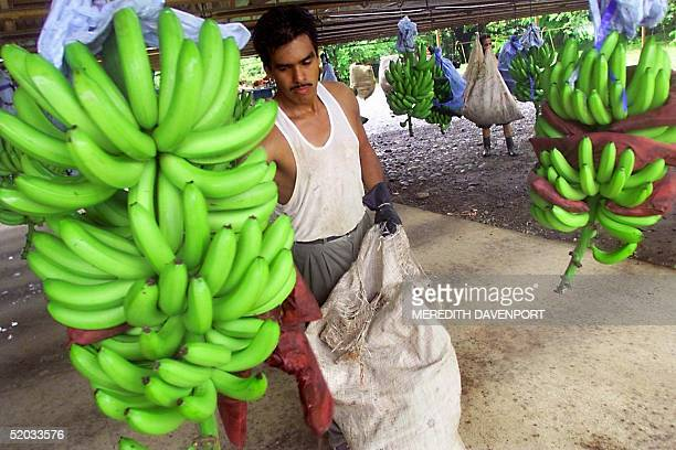 A worker inspects bananas at a plantation 25 June 1999 in Guapiles Costa Rica second largest exporter of bananas after Ecuador who hope to maintain...