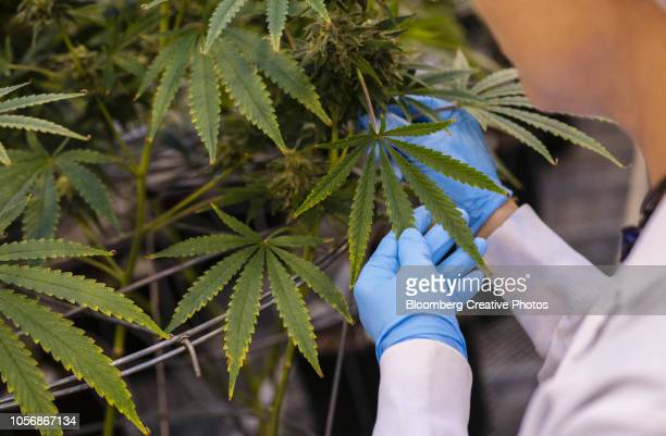 a worker inspects cannabis plants growing in a greenhouse at a facility - legalization stock pictures, royalty-free photos & images