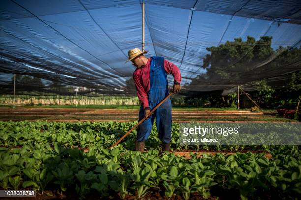 Worker involved in the Vivero Amamar urban agriculture project, which is sponsored by Deutsche Welthungerhilfe in Havana, Cuba, 17 July 2015. German...