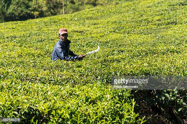 A worker is cleaning the little paths leading through the tea bushes situated around 1600 m above sea level in the Western Ghats