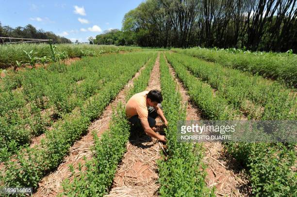 A worker is seen in a stevia plantation known as 'sweet herb' or 'ka´a he´e' in the native Guarani language in Caacupe 50 kms east of Asuncion...