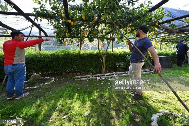 A worker lays a wooden pole to support a lemon tree at the 'Costieragrumi De Riso' traditional lemon growing company on a typical terraced garden on...