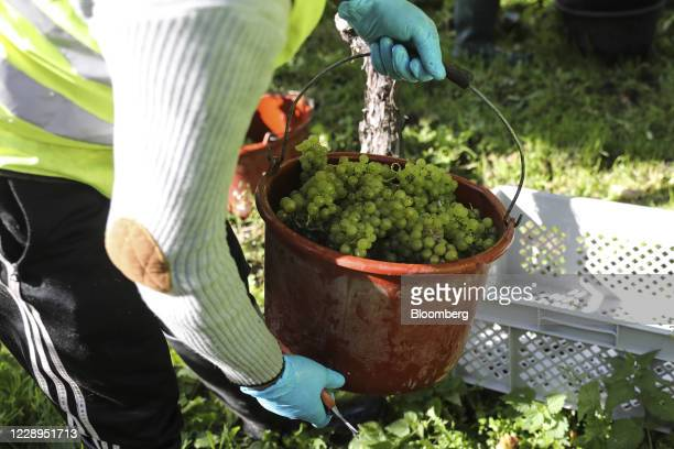 Worker lifts a bucket of Chardonnay grapes during the harvest at the Nyetimber Ltd. Vineyard in Tillington, U.K., on Wednesday, Oct. 7, 2020. When...