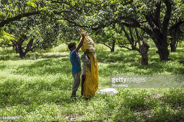 A worker loads a sack of harvested mangoes onto another's head in an orchard on the family farm of landowner Kunwar Vikram Jeet Singh in Kuchesar...