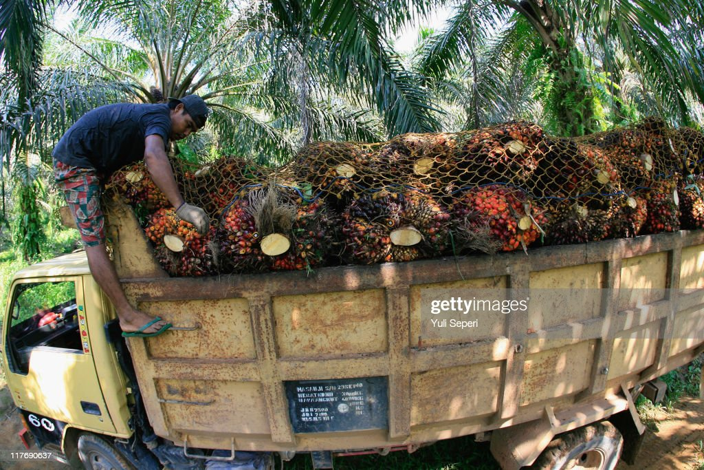 A worker loads a truck with newly harvested oil palm fruit for Crude Palm Oil (CPO) on June 24, 2011 in Bintan, Indonesia. on June 24, 2011 in Bintan Island, Indonesia. Indonesia will adjust it's palm oil export tax in July to 20 percent from 17.5 percent in June in an effort to slow down a massive rush to export the product as world demand increases. Indonesia is the top producer of palm oil in the world ahead of Malaysia and will produce over 21 million tonnes of palm oil this year.