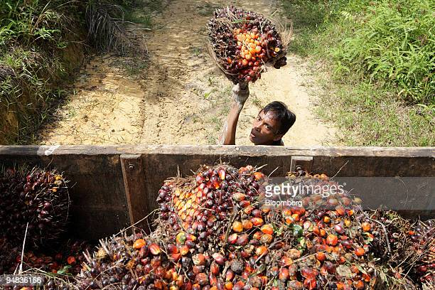 A worker loads harvested oil palm fruit into a truck on a plantation in Ngabang West Kalimantan Indonesia on Monday Dec 1 2008 Indonesia the world's...