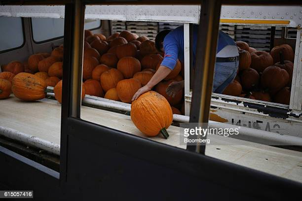 A worker loads newlyharvested jacko'lantern pumpkins onto a conveyor belt at a Frey Farms Inc processing facility Poseyville Indiana US on Thursday...
