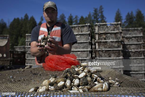 A worker loads young geoducks into a bag on a floating growing facility operated by the Taylor Shellfish Co near Olympia Washington US on Tuesday May...