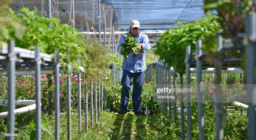 Worker Luciano Augustin Cleans Swiss Chard In The Shade House At S Specialty Produce Farm