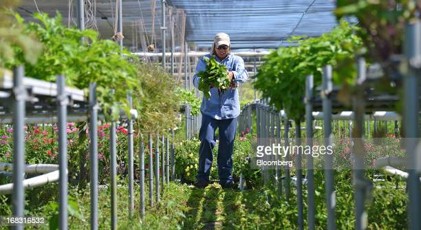 Worker Luciano Augustin cleans Swiss chard in the shade house at Swank Specialty Produce farm in Loxahatchee Florida US on Wednesday May 8 2013 Swank...