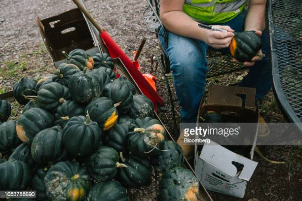 A worker marks acorn squash for sale at Tabora Farms in Chalfont Pennsylvania US on Saturday Oct 13 2018 Agritourism was supposed to be a profit...