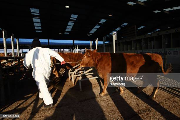 A worker moves a cow prior to a cattle auction at the Changnyeong livestock market operated by the National Livestock Cooperative Federation an...