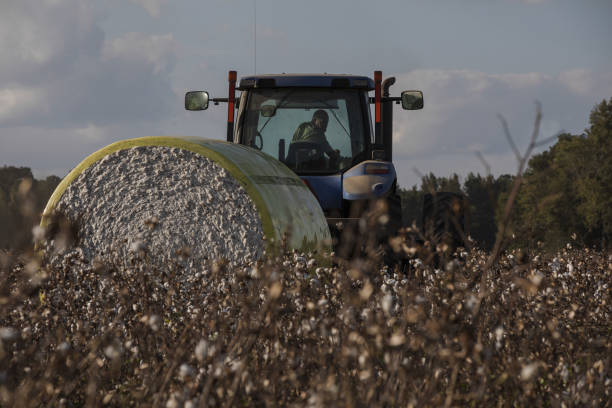 SC: A Cotton Harvest As Global Supply Tightens