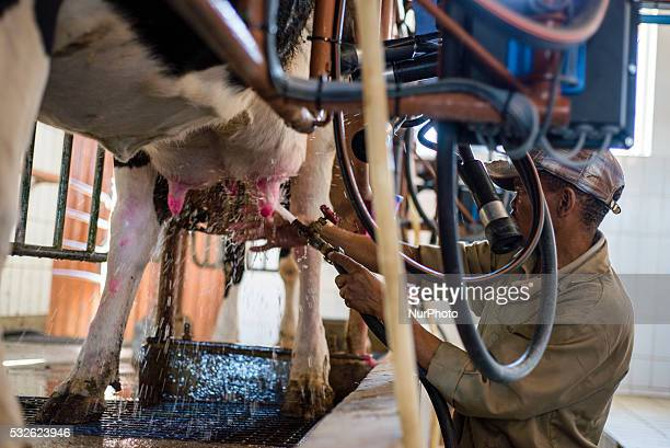 A worker of milking parlor using automatic milking machine in the Neudamm Farm Namibia There are 90 friesian dairy cattle on the farm with a total...
