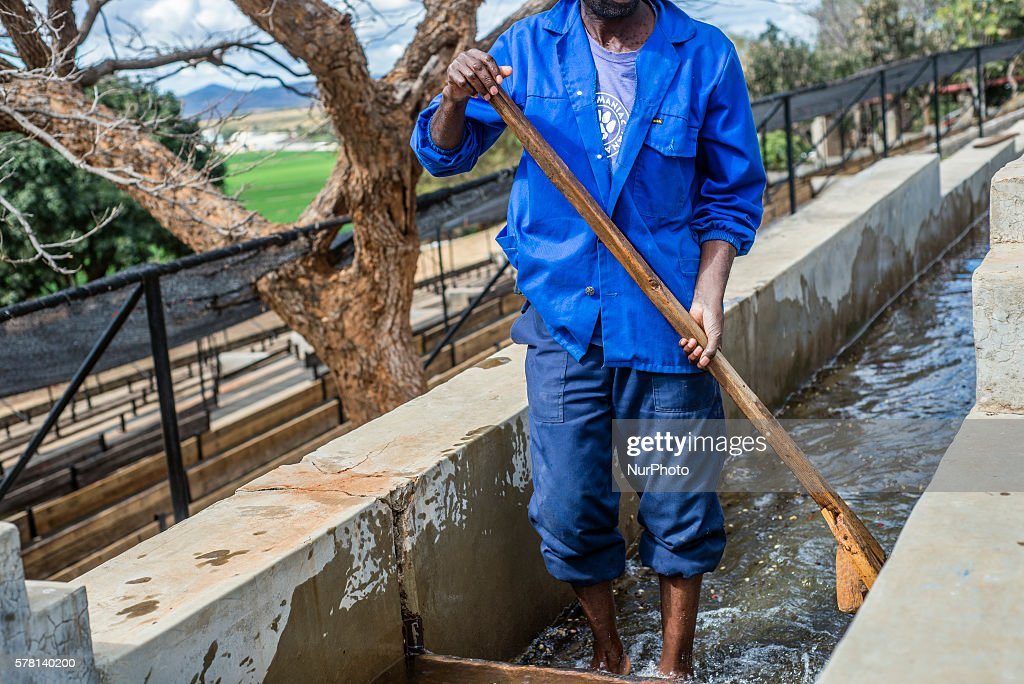 A Worker Of Mubuyu Farm Coffee Factory Rakes Coffee In The