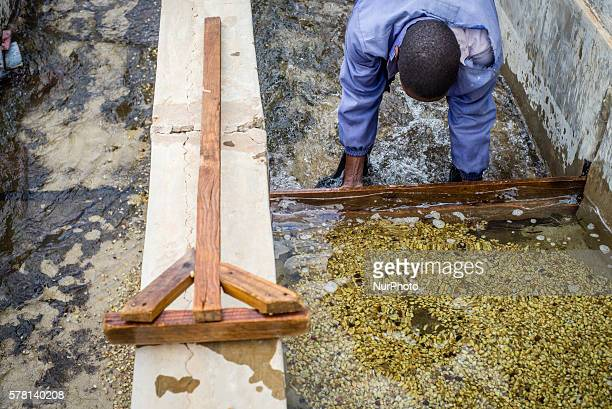 A worker of Mubuyu Farm coffee factory rakes coffee in the water at the Mubuyu farm coffee factory in Zambia Coffee beans which dont float to the...