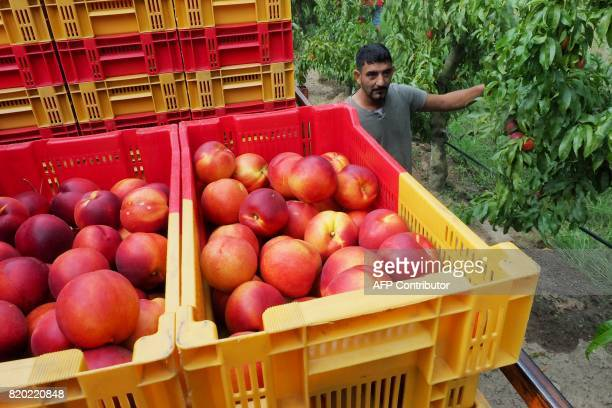 A worker of organic nectarines production walks by cases of nectarines at a field in SaintGenis des Fontaines on July 21 2017 / AFP PHOTO / RAYMOND...