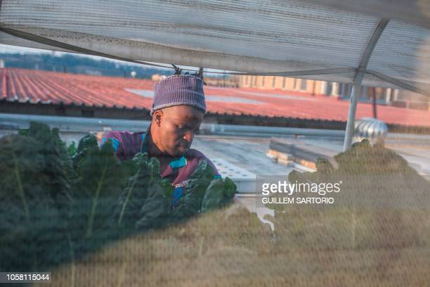 Worker of Rooftops Roots Thulani Shabangu pulls out some dry spinach leaves from the plants in Johannesburg on November 2 2018 Rooftop Roots is a...