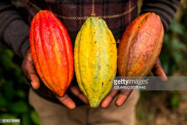 A worker of SCAK Kivu holds cocoa pods at the company's processing plant in Beni on November 15 2016 Cocoa farming in the Beni area started in the...