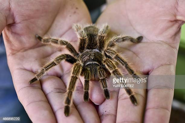 A worker of the Chapultepec Zoo shows a pink tarantula on March 19 2015 in Mexico City AFP PHOTO/Yuri CORTEZ
