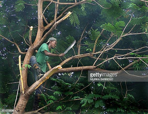 A worker of the electricity company in Havana cuts the tree branches that obstruct the electric lines 23 August 2000 in Havana Cuba before the...