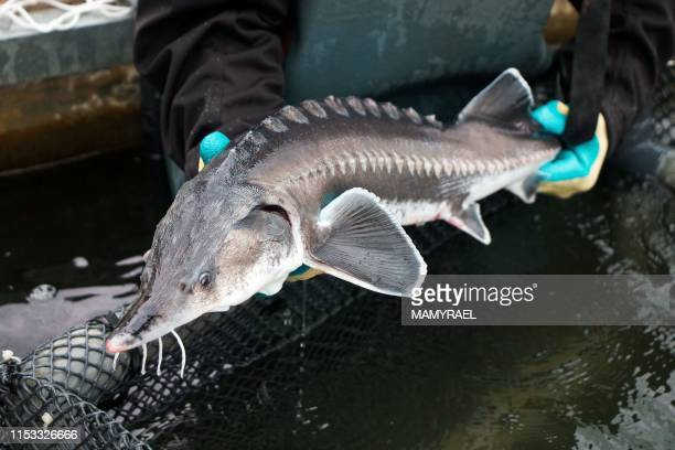 TOPSHOT A worker of the Rova Caviar Madagascar company holds a sturgeon after pulling it from the net at the Acipenser factory on June 4 2019 in...