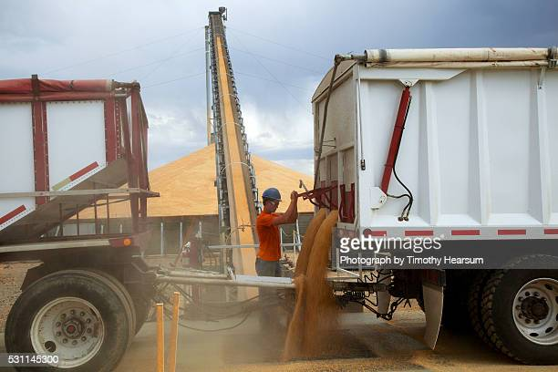 a worker offloads wheat into an elevator where it is deposited onto 'stadium stacks' - timothy hearsum fotografías e imágenes de stock