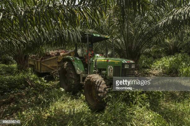 A worker operates a tractor carrying bunches of African oil palm fruit at the Empresa Reforestada de Palma de Peten SA plantation in Sayaxche El...
