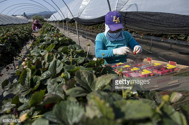 A worker packages substrate grown strawberries at the Driscoll's Inc facility on the McGrath Ranch in Watsonville California US on Monday Sept 19...