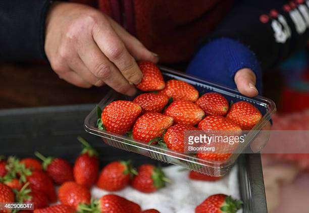 Worker packs harvested Himebijin strawberries into a tray at Okuda Farm in Hashima, Gifu Prefecture, Japan, on Tuesday, Jan. 14, 2013. The farm this...