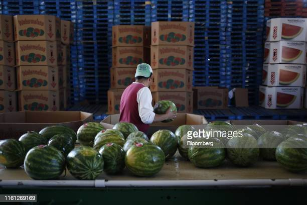 A worker packs watermelons during a harvest at Frey Farms Inc in Poseyville Indiana US on Thursday Aug 1 2019 Overall the value of watermelon exports...